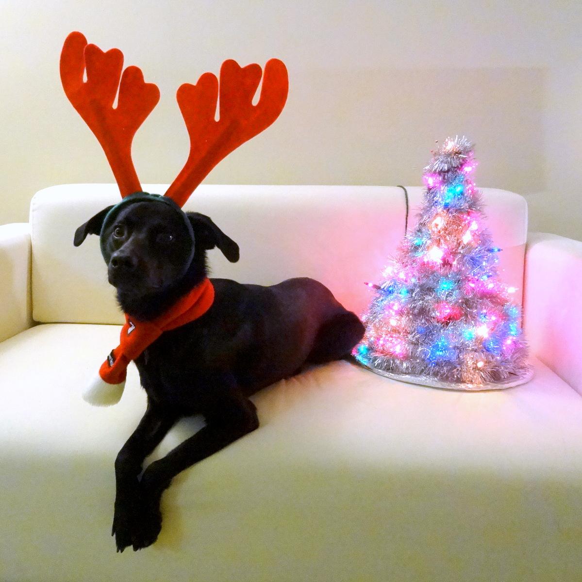 Phoebe reindeer